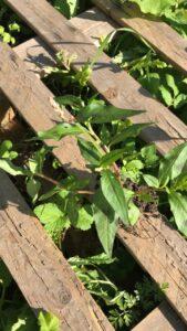 Vihreitä kasveja ja rikkaruohoja kasvaa puisen kuormalavan lautojen välistä. Green plants and weeds are growing through the wooden boards of a pallet.